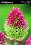 allium-shearocephalon-cesnek-10-kusu-promotion!!!.jpg