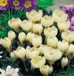 crocus-krokus-cream-beauty-150-kus-promotion!!!-cibule-semen.jpg