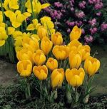 crocus-krokus-golden-yellow-100-kus-promotion!!!-cibule-semen.jpg