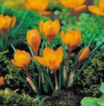 crocus-krokus-orange-monarch-1-kus-promotion!!!-cibule-semen.jpg