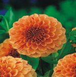 dahlia-dahlia-lupin-orange-1-kus-promotion!!!.jpg