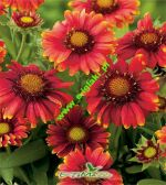 gaillardia-gajlardia-arizona-red-shades-1-kus-promotion!!!.jpg