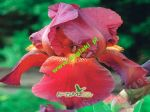 iris-germanica-genialni-red-zinger-1-kus-promotion!!!.jpg