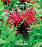 monarda-cambridge-scarlet-1-kus-promotion!!!.jpg