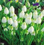 muscari-safir-white-magic-100-kus-promotion!!!-cibule-semen.jpg