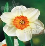 narcissus-narcis-barret-browing-30-kus-promotion!!!-cibule-semen.jpg