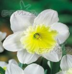 narcissus-narcis-ice-follies-1-kus-promotion!!!-cibule-semen.jpg