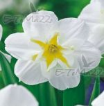 narcissus-narcis-lemon-beauty-30-kus-promotion!!!-cibule-semen.jpg