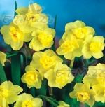 narcissus-narcis-vicekvete-yellow-cheerfulness-1-kus-promotion!!!-cibule-semen.jpg