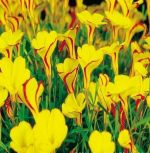 oxalis-golden-cape-1-kus-promotion!!!.jpg