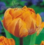 tulipa-tulipan-plny-orange-princess-1-kus-promotion!!!-cibule-semen.jpg