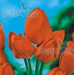 tulipa-tulipan-vicekvete-orange-bouquet-50-kus-promotion!!!-cibule-semen.jpg