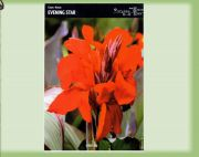canna-kanna-evening-star-1-kus.jpg