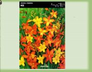crocosmia-cynobrowka-mix-10-kusu.jpg