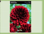 dahlia-dahlia-arabian-night-1-kus-promotion!!!.jpg