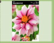 dahlia-dahlia-edge-of-joy-1-kus.jpg