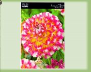 dahlia-dahlia-hawaii-1-kus-promotion!!!.jpg