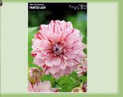 dahlia-dahlia-painted-lady-1-kus-promotion!!!.jpg