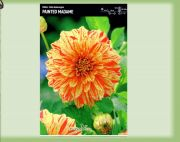 dahlia-dahlia-painted-madam-1-kus-promotion!!!.jpg