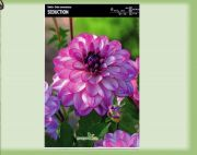 dahlia-dahlia-seduction-1-kus-promotion!!!.jpg