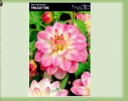dahlia-dahlia-twilight-time-1-kus-promotion!!!.jpg