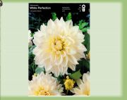 dahlia-dahlia-white-perfection-1-kus-promotion!!!.jpg