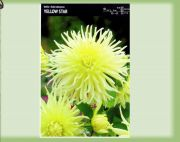 dahlia-dalia-yellow-star-1-szt.jpg