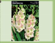 gladiolus-gladiolus-perfection-cream-5-kusu.jpg