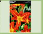 hemerocallis-lily-red-magic-1-kus.jpg