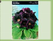 hollywood-gloxinia-gloxinia-1kus.jpg