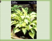hosta-albopicta-1-kus-promotion!!!.jpg