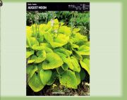 hosta-august-moon-1-kus-promotion!!!.jpg
