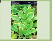 hosta-golden-tiara-1-kus-promotion!!!.jpg