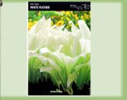 hosta-white-feather-1-kus-promotion!!!.jpg
