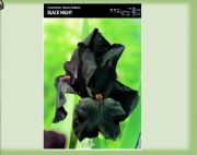 iris-germanica-black-night-1-kus.jpg