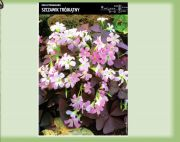 oxalis-triangularis-5-kusu-promotion!!!.jpg