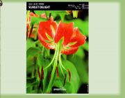 scarlet-lily-delight-turkish-cup-1-kus.jpg