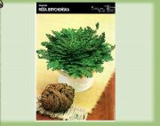 selaginella-rose-jericho-1-kus.jpg
