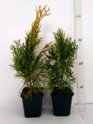 thuja-janed-gold-thuja-occidentalis-3000-kusu.jpg