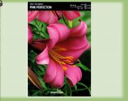 trumpet-lily-pink-perfection-1-kus.jpg